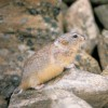 Heightmeyer's Lemming